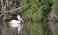Fläcknäbbad pelikan, Vedantangal, Indien