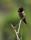 Annas kolibri, California