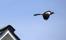 Härmfågel, California
