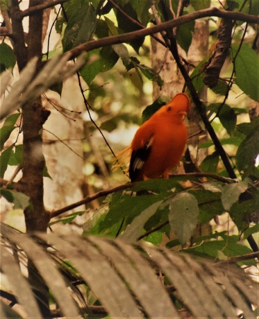 Cock-of-the-rock i urskogen, några kilometer från Wowetta i Rupununi, Guyana. Februari 2020.