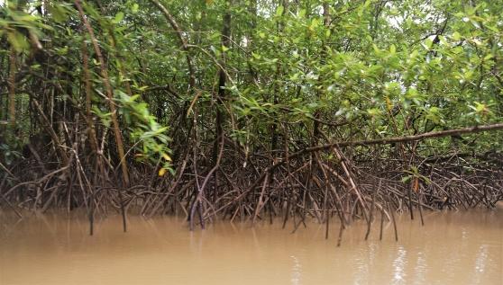 Mangroveskogar från egen utfärd i  den sydamerikanska djungeln, Commewijne i Surinam.