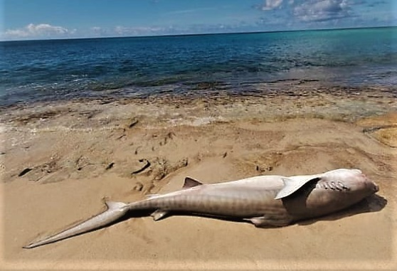 Den här hajen spolades iland på Plum Bay, St Martin. Foto: privat.
