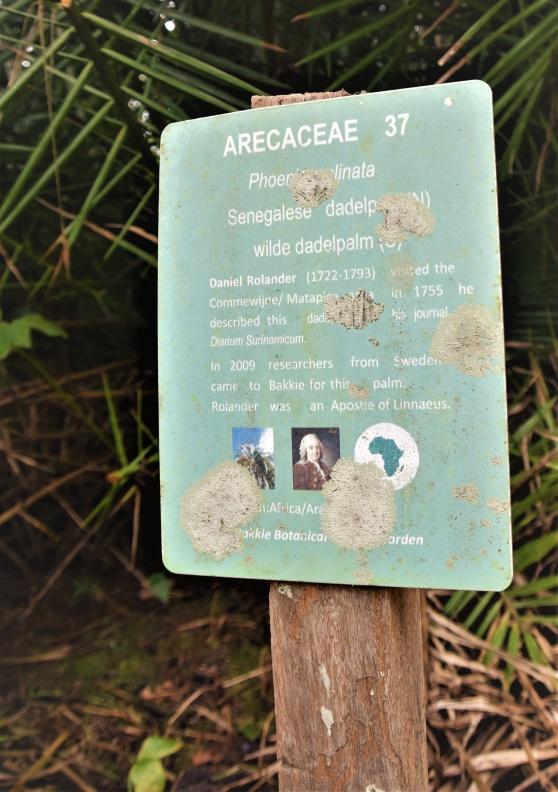 I Surinams regnskog hittar jag en skabbig skylt som berättar om Daniel Rolanders besök och hur han beskrivit den här dadelpalmen 1755. Fast skylten är från 2009