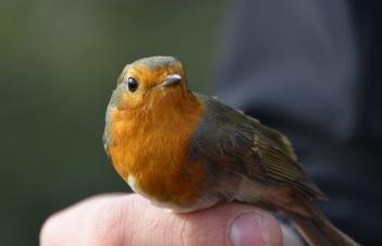 Rödhaken, min fågelkompis.