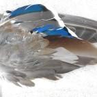 Fågelvinge, and