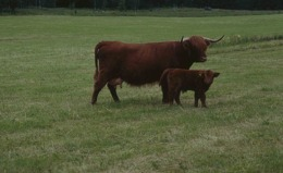 Highland Cattle + kalv