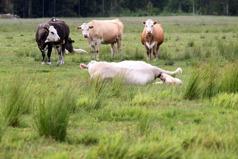 Kalvning köttras GLB_1527