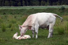 Nyfödd kalv köttras GLB_1550