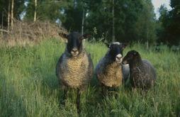 Tre får