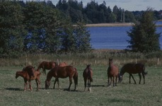 Hästflock vid sjö
