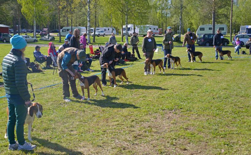 13. Finskstövartikarnas jaktklass höll mycket hög nivå med många Excellentbetyg.