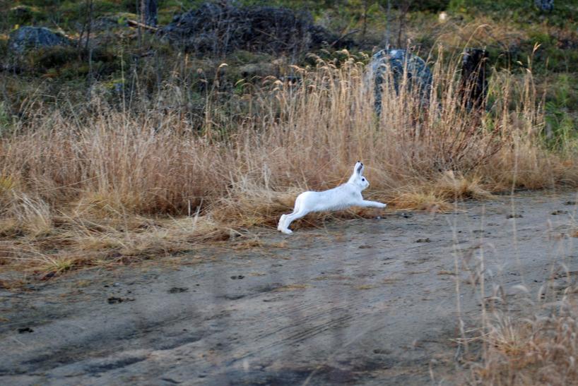 Vita harar, barmark  och hårdfrusna vägar är ingen bra kombination för långa drev…