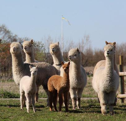 Some of our Alpacas at our farm in Sweden