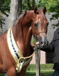 Gold Champion Stallion, Tulip Cup 2014