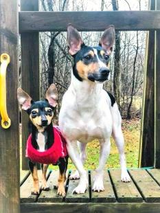 Kompisarna Flash och Stryder som är minityr respektive standard Rats. By courtesy of Becca Prairie.