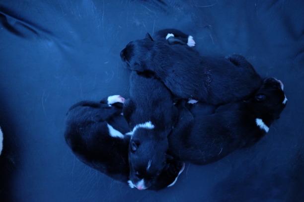 Valparna är 1 dag gamla. De äter och sover och piper där emellan.