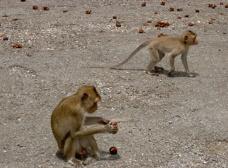 Apor på Apornas tempel i Ban Phe