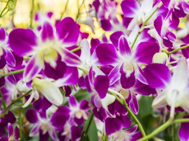 Orchidé från Thailand