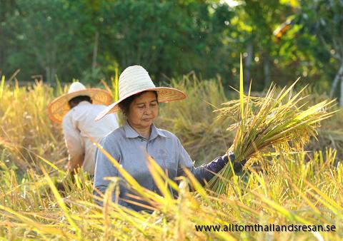 Ris | Thailand Resor- Alltid Lägsta Pris! Hyr boende och boka flygbiljetter