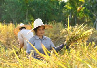 Risodling i Thailand