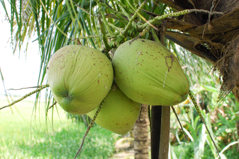 Coconut Thailand
