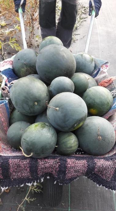 Nyskördade vattenmeloner