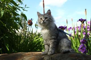 Deltas sibiriska katter