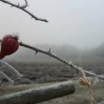 Den 4/11 var det frost och dimma. -2-4° Resten av dagen var det mestadels mulet. Bilden är fotad på förmiddagen utanför Lillkyrka, Örebro.