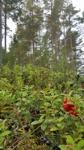 160826 Storuman, Västerbotten, Södra Lappland. Växlande molnighet 14 grader. Ösregn på eftermiddagen. Foto: Marika Olofsson