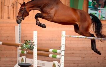 Cincinnati T, foto: Krister Lindh/www.selecthorsesales.se