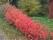 Aronia-häck