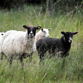 Får Halland - beställ lammkött hos Västergårdarnas lamm i Halmstad
