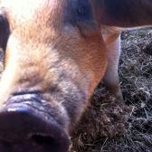 Närbild gris