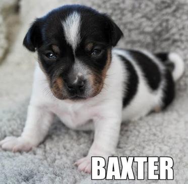 Gullvivebackens Baxter