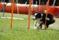 Slalomhindret tas i en takt som gör att man funderar ibland om bakdelen av hunden hänger med.