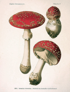 Amanita muscaria - svampen som gav dakerna kämparglöd genom psykoaktiva substanser. Dakerna använde även drogen för att komma i kontakt med döda förfäder, något som romarna gladeligen hjälpte dem med.