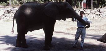 Artikelförfattaren med en afrikansk savannelefant vid Kolmården. Kartago använde afrikanska skogselefanter, men storleken på detta ungdjur är mer i linje med Hannibals elefanter. Foto: Tomas Karlsson