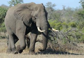 Afrikansk savannelefant, L. a. africana. Foto: Jay Van Rensburg
