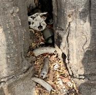 Votivgåvor i form av ymnighetshorn inuti det livgivande kapokträdet. Foto: Richard Holmgren.