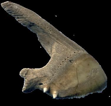 En av flera överkäkar från papegojfisk - framgrävda av Svenska Dödahavsexpeditionens bysantinska klostergrävning. Foto: Richard Holmgren