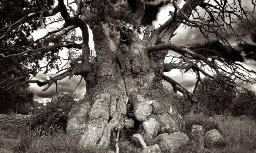 Sweden's oldest oak. Photo: Richard Holmgren