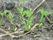 Små plantor av morot
