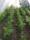 Morötter i odlingstunnel