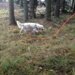 Alvin tränar viltspår, resultat hitintills; Godkänd i Anlagsklass och 1 pris i Ökl