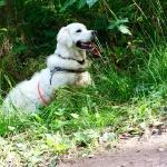Charlie tränar viltspår