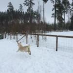 Lovis smiter från valparna ett tag för att leka i snön.