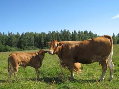 Limousin i harmoni på bete.