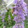 Raskgårdens honung, fast