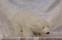 Isbjörn ca 25 cm