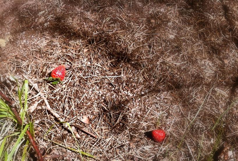 Jordgubbar i myrstack